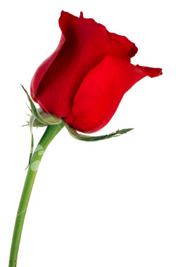 ist2_2609253-single-red-rose