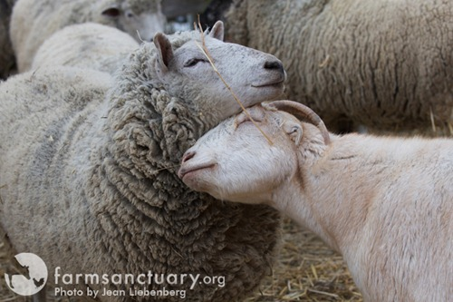 Farm Sanctuary Dorothy and Chico web res CREDIT Jean Liebenberg thumb   2012 Holiday Gift Ideas