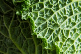 cabbage-1738
